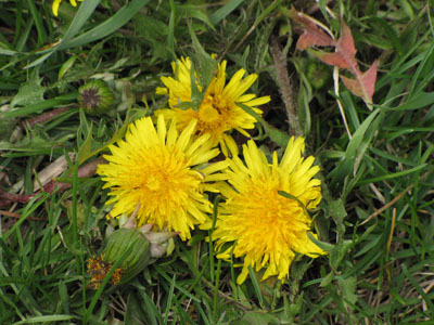 dandelions Spring is Sprouting All Over!